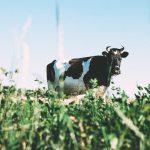Kiedy wprowadzić mleko krowie? Rozszerzanie diety dziecka